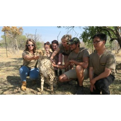 Our Volunteer Southern Africa wildlife volunteers working with one of the rehabilitated cheetahs on the Living with Cheetahs volunteer program.