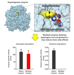 A simulation by researchers at Sandia National Laboratories and the University of Maryland demonstrates that a mutated enzyme will degrade  asparagine –  food for some cancers — but leave glutamine, necessary for all proteins, untouched. (J.Vanegas)