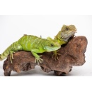Scientists Confirm Facultative Parthenogenesis in Smithsonian's National Zoo's Asian Water Dragon