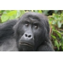 Dian Fossey Gorilla Fund Protecting Critically Endangered Congo Gorillas