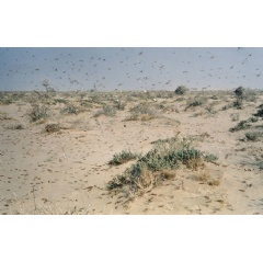 The desert locust is the world's most dangerous migratory pest capable of flying up to 150 km a day with the wind. -Credit: FAO-