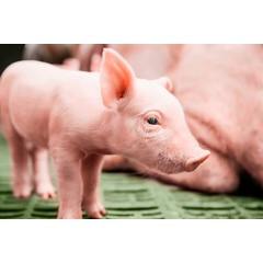 Young piglets need to be protected from coccidiosis and iron deficiency anaemia.  -CREDIT: Bayer-