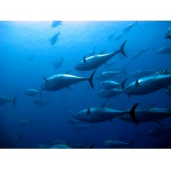 A school of tuna are pictured swimming in the ocean. Credit: Shutterstock/Ugo Montaldo