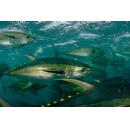 Long-term conservation crucial to rescue Eastern Pacific tunas