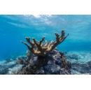 Smithsonian and Partners Pioneer Method to Boost Endangered Coral Populations Separated by Vast Distances