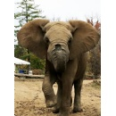 Grant's Farm Devastated by Loss of Cherished African Elephant, Max