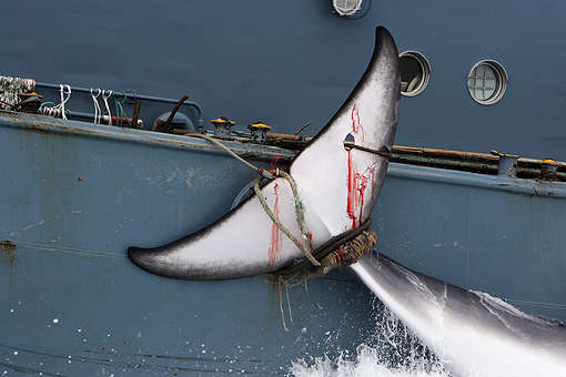 Int'l Whaling Commission Aware of Japan's Plan to Withdraw, Preparing Statement
