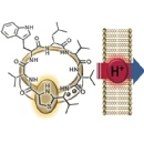 Antibiotic Ornament Clasp: Chemical synthesis demonstrates that antibiotic from the human nose works by proton translocation