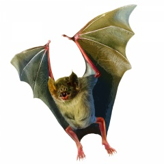 "Vampire bats (Desmodus rotundus) are the only mammals that survive entirely on blood, emerging at night to feed on their prey. The anticoagulant, or bloodthinner, in their saliva is called ""Draculin""—bringing to mind a certain famous bloodsucker."
