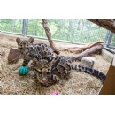 First-Ever Clouded Leopard Cubs Debut at the Smithsonian's National Zoo