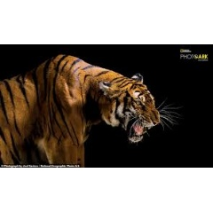 No trace of the wild South China tiger, Panthera tigris amoyensis (critically endangered, possibly extinct in the wild).