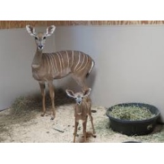 Lesser kudu female Rogue with her newborn male calf behind the scenes at the Zoo's Cheetah Conservation Station. -Credit: Gil Myers, Smithsonian's National Zoo