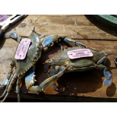 To estimate recreational versus commercial crabbing, biologists outfitted crabs with these pink tags, offering a reward to crabbers who found them and reported the catch. Credit: Kim Richie, Smithsonian Environmental Research Center