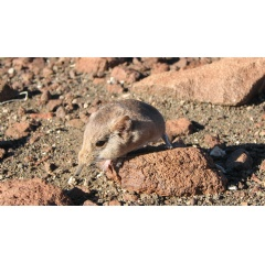 The Etendeka round-eared sengi (Macroscelides micus) from the remote deserts of Namibia.
