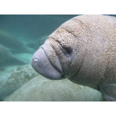 A curious manatee calf approaches as the USGS Sirenia Project conducts fieldwork at Crystal River National Wildlife Refuge, Florida. Credit: Bob Bonde, USGS. Public domain.