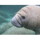 New genetic test detects manatees' recent presence in fresh or saltwater