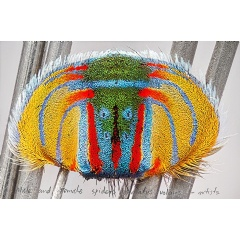 Maria Fernanda Cardoso, On the Origins or Art – Actual Size II Maratus Volans Abdomen 2016. Tate and the Museum of Contemporary Art Australia, purchased jointly with funds provided by the Qantas Foundation 2018