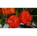 Notorious British grown chilli pepper, the Carolina Reaper, just got hotter