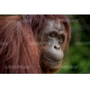 Oreo maker linked to destruction of orangutan habitat for palm oil in Indonesia