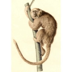 An artist's sketch of the monkey Callicebus donacophilus, a living species closely related to X. mcgregori. Credit: Alcide Dessalines d'Orbigny (Voyage dans l'Amérique méridionale), via Wikimedia Commons